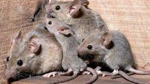 Plaga de ratones en casa teneplagas - Ratones en casa eliminar ...