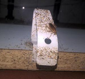 Tengo cucarachas qu hago tengo que fumigar teneplagas - Que hacer contra las cucarachas ...