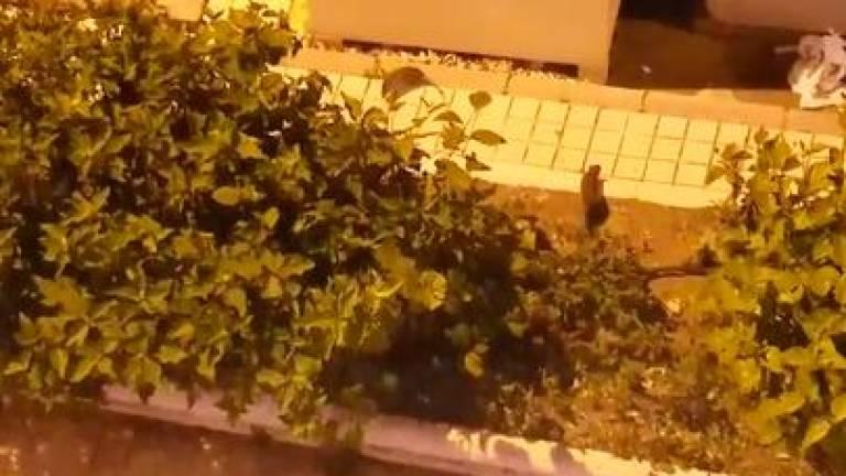 Ratas en el municipio de Ingenio