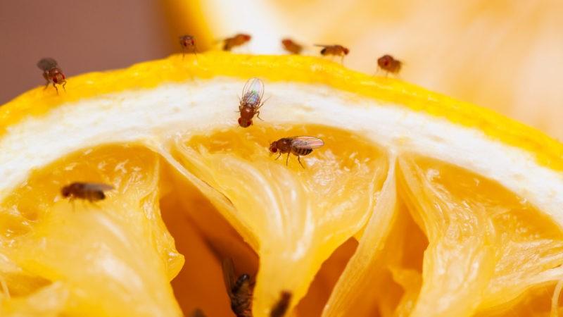 Moscas pequeñas o mosquitos en la cocina
